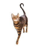 Cat breed Toyger isolated on white background. Small toy tiger royalty free stock photography