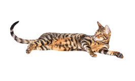 Cat breed toyger. Lying on white background, isolated. Toy tiger royalty free stock photography
