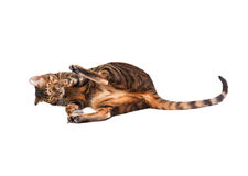 Cat breed Toyger playing with  toy mouse. Royalty Free Stock Photo