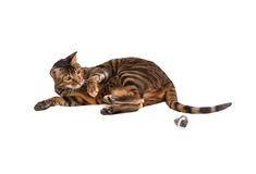 Cat breed Toyger playing with toy mouse. Royalty Free Stock Photography