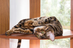 Cat breed Toyger resting on wooden shelf near window Royalty Free Stock Photography