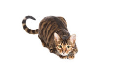 Cat breed Toyger watching something. Stock Photo