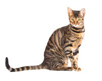 Cat breed toyger on white background royalty free stock photography