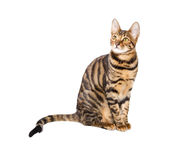 Cat breed toyger on white background. Cat breed toyger isolated on white background. Toy tiger stock image