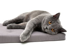Cat breeds Scottish Straight lies on a pillow. White background - horizontal photo Stock Images