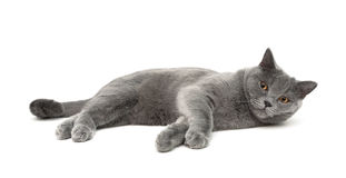 Cat breeds Scottish Straight lies on a white background Stock Photos