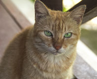 Cat with bright green eyes stares at you. Cat with bright astute green eyes stares at you royalty free stock images