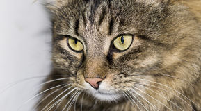 Cat with a brindle color,. A cat with a brindle color, a beautiful view of a cat, an accent on the appearance of a cat, a cat with an astute look, a macro cat, a royalty free stock photos