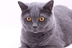 Cat British Royalty Free Stock Images