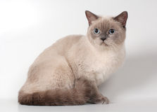 Cat of british breed Royalty Free Stock Image