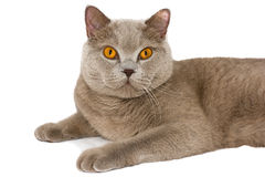 Cat of British breed. Cat of British breed, isolated on white Stock Images