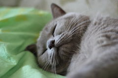 Cat of the British breed. Big cat of the British breed resting on the green bed royalty free stock image