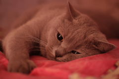 Cat of the British breed. Big cat of the British breed resting on the red bed royalty free stock images