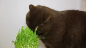 Cat of the British breed gets the vitamins chewing the green grass stock video