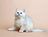 Cat of the British breed. Rare coloring - a silver Royalty Free Stock Photo