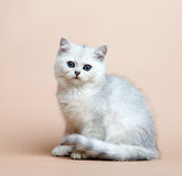 Cat of the British breed. Rare coloring - a silver Stock Photos