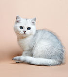 Cat of the British breed. Rare coloring - a silver Stock Photo