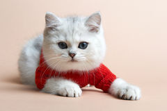 Cat of the British breed. Rare coloring - a silver Royalty Free Stock Photography