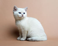 Cat of the British breed. Rare coloring - a silver Stock Photography