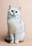 Cat of the British breed. Rare coloring - a silver Royalty Free Stock Image