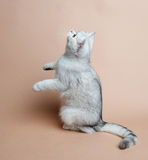 Cat of the British breed. Rare coloring - a silver Royalty Free Stock Photos