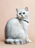 Cat of the British breed. Rare coloring - a silver Royalty Free Stock Images