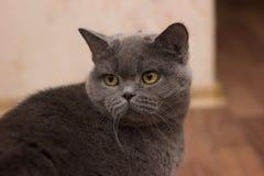 Cat british house stock photography