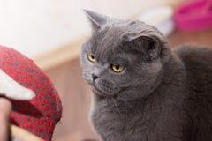 Cat british house. Cat british playful gray cat stock images