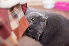 Cat british house royalty free stock photo