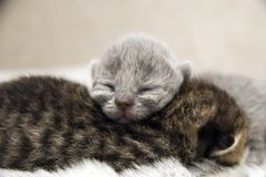 Cat British newborn asleep. Two british tabby newborn kittens are asleep embrace together Stock Photography
