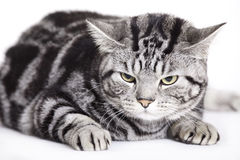 Cat, British Shorthair Royalty Free Stock Images
