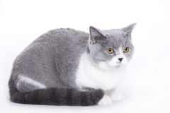 Cat, British shorthair Royalty Free Stock Photo