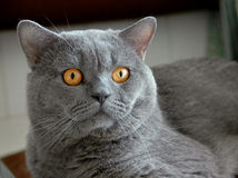 Cat,British shorthair Royalty Free Stock Photography