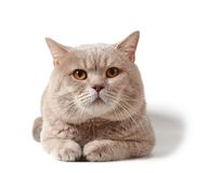 Cat of british shorthair breed Royalty Free Stock Image
