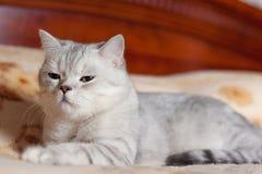 Cat British Shorthair breed Stock Images