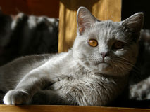 Cat British shorthair lilac. British shorthair cat lilac with yellow-orange eyes and is looking into the camera Royalty Free Stock Photos
