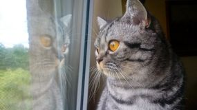 Cat british shorthair looking out the window Royalty Free Stock Image
