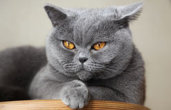 Cat British Shorthair nombró a Tais Queen Fotografía de archivo