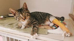 Cat with broken leg royalty free stock images