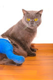 Cat with broken leg Royalty Free Stock Photography