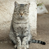 Cat with brown and black stripes. Farm house cat with grey, brown and black stripes stock photo