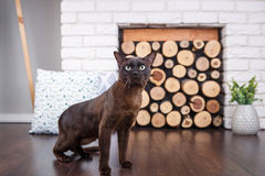 Cat brown, chocolate brown with large green eyes on the wooden floor on dark background white brick wall and fireplace with wood i. N the interior of the house Stock Photos