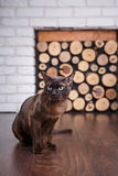 Cat brown, chocolate brown with large green eyes on the wooden floor on dark background white brick wall and fireplace with wood i. N the interior of the house Royalty Free Stock Photo