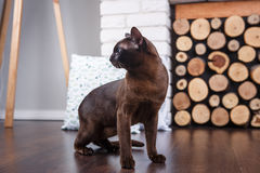 Cat brown, chocolate brown with large green eyes on the wooden floor on dark background white brick wall and fireplace with wood i. N the interior of the house Royalty Free Stock Images