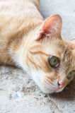 Cat. Brown color is thinking royalty free stock photography