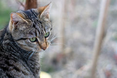 Cat. Brown tabby cat, focus on the head. Selective focus and copy space stock photo