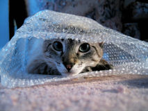 Cat in Bubble Wrap. Cat staring at the camera, sitting insde bubble wrap royalty free stock images