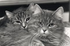 Cat Buddies. A Cat Resting On Her Sister Stock Image