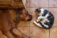 Cat and bullmastiff dog lie on floor Stock Image
