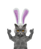 Cat with bunny ears -- isolated on white Royalty Free Stock Photography
